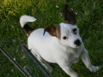 Chien Cookie - Jack Russell Femelle (3 ans)