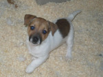Chien Gribouille - Jack Russell Femelle (10 mois)