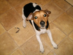 Chien Sniffy - Jack Russell Femelle (4 ans)