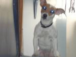 Chien Speedy - Jack Russell Femelle (3 ans)