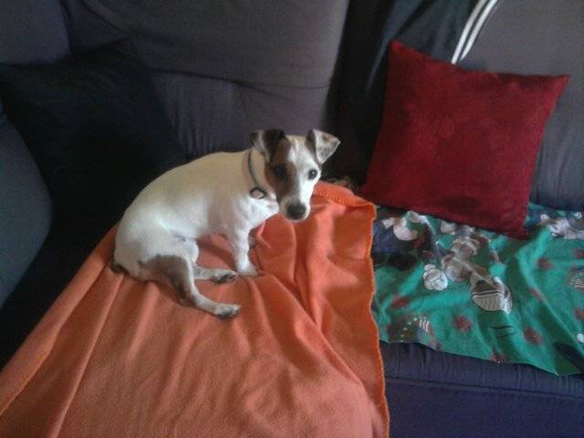 Chien Jack russell  Daly  - Jack Russell  (0 mois)