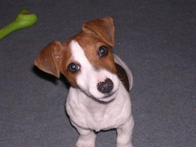 Chien Zoo a 3 mois - Jack Russell  (3 mois)