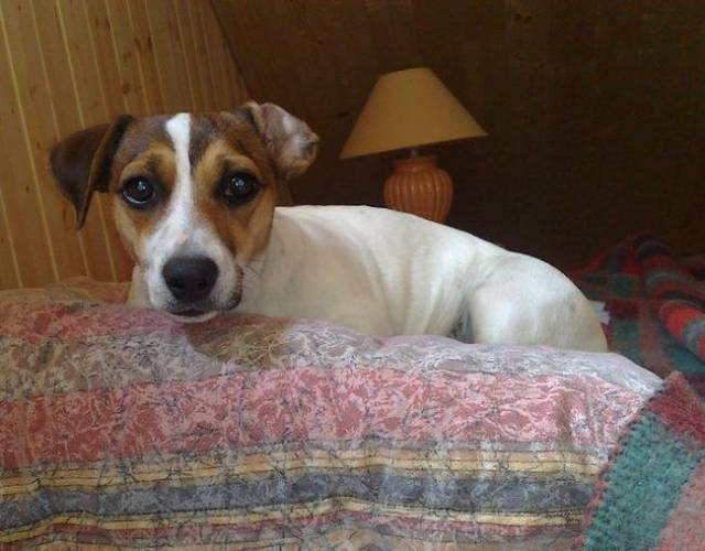 Chien Easy photo de jack russel 1 an - Jack Russell  (0 mois)