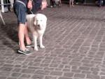 Chien Cane di una mostra canina - Berger de la Maremme et des Abruzzes  (0 mois)