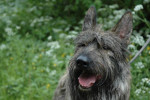 Chien berger picard Ariane - Berger picard  (0 mois)
