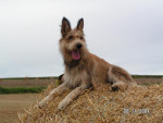 Chien UT BERGER PICARD - Berger picard  (0 mois)