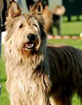 Chien BERGER PICARD VEIG - Berger picard  (0 mois)