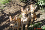 Chien CHIOTS BERGER PICARD - Berger picard  (0 mois)