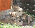 Chien Dana de la Vallée de CreveCoeur et ses bébés - Berger picard  (0 mois)