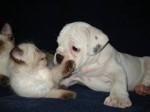Chien jill and minx - Bouledogue américain Femelle (9 mois)