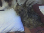 Chien snoopy - Yorkshire Femelle (15 ans)