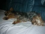 Chien bambou et pti loup sieste - Yorkshire Femelle (3 ans)