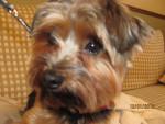 Chien Lucky - Yorkshire Mâle (2 ans)