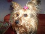 Chien Zara - Yorkshire Femelle (2 ans)
