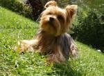 Chien Roxy - Yorkshire Femelle (6 ans)