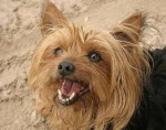 Chien MA CHIENNE ANGIE - Yorkshire Femelle (7 ans)