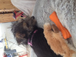 Chien Lutti - Yorkshire Femelle (2 mois)