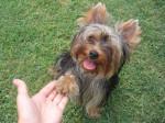 Chien Yorkshire terrier Biki - Yorkshire  (0 mois)