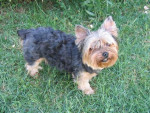 Chien Yorkshire terrier Chloé - Yorkshire  ()