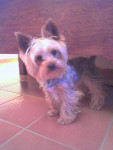 Chien Yorkshire Terrier Nain - Yorkshire  (0 mois)