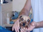 Chien Yorkshire terrier  -  VOYOU - Yorkshire  (0 mois)
