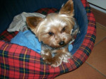 Chien Yorkshire Terrier Nain (Uline) - Yorkshire  (0 mois)