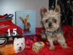 Chien Yorkshire Terrier - Yorkshire  (0 mois)