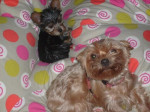 Chien Cookie et Frosty, Yorkshires terriers - Yorkshire  (0 mois)