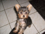 Chien Frosty, Yorkshire terrier 3 mois - Yorkshire  (3 mois)