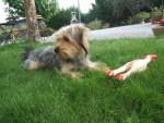 Chien Hylou jolie Yorkshire Terrier - Yorkshire  (0 mois)
