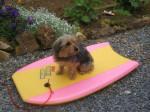 Chien Hylou, petit Yorkshire surfeur - Yorkshire  (0 mois)