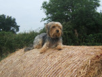 Chien Hylou peit Yorskshire Terrier prend une belle pose - Yorkshire  (0 mois)