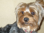 Chien Dollie - Yorkshire Femelle (3 ans)