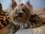 Chien Angel - Yorkshire Femelle (2 ans)