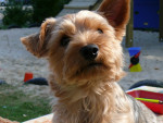 Chien Yorkshire terrier - Yorkshire  (0 mois)