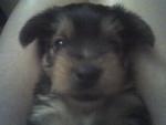 Chien Goofy - Yorkshire Mâle (1 mois)