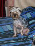 Chien Uky - Yorkshire Femelle (5 ans)