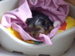 Chien Cybelle - Yorkshire Femelle (3 mois)