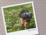 Chien peps - Yorkshire Mâle (1 an)
