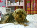 Chien Betty - Yorkshire Femelle (2 ans)