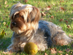 Chien Lilas - Yorkshire Femelle (3 ans)