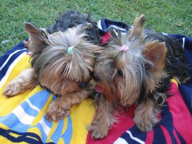 Chien Yorkshire terrier Chloé et Biki - Yorkshire  (0 mois)