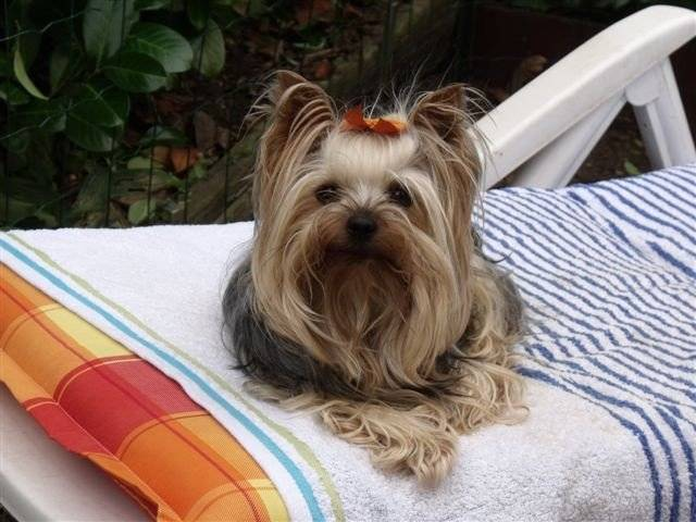 les races de chiens les plus petites du monde le yorkshire. Black Bedroom Furniture Sets. Home Design Ideas