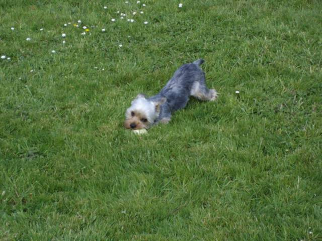 Chien Coco - Yorkshire Femelle (2 ans)