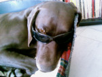 Chien Moka - Braque allemand à poil court Mâle (8 ans)