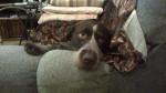 Chien Bandit - Braque allemand à poil court Femelle (4 ans)