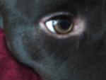 Chien Alto\'s Eye. - Braque allemand à poil court Mâle (2 ans)