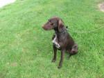 Chien dolly - Braque allemand à poil court Femelle (3 ans)