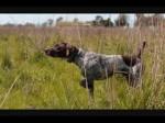 Chien Lilly Huntting dog - Braque de l\'Ariège Femelle (3 ans)