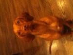 Chien Viva - Braque hongrois à poil court Femelle (4 ans)